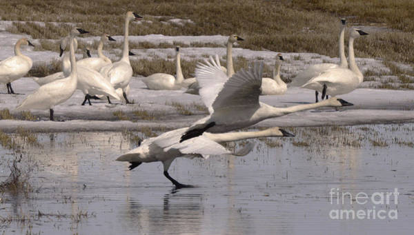 Wall Art - Photograph - Trumpeter Swans Alberta Canada 4 by Bob Christopher