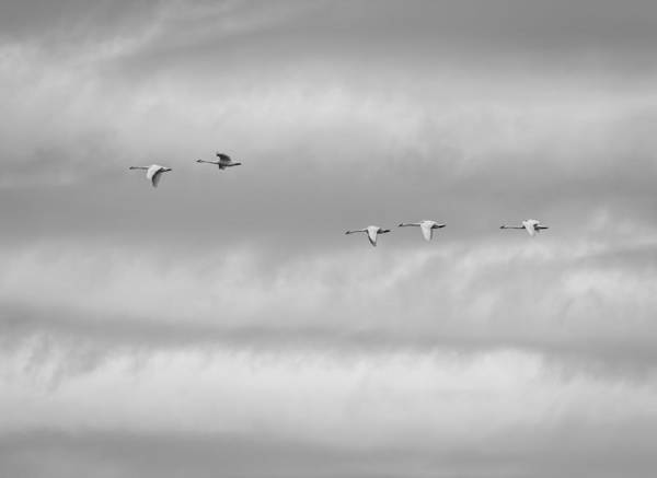 Wall Art - Photograph - Tundra Swans Flying Above by Thomas Young