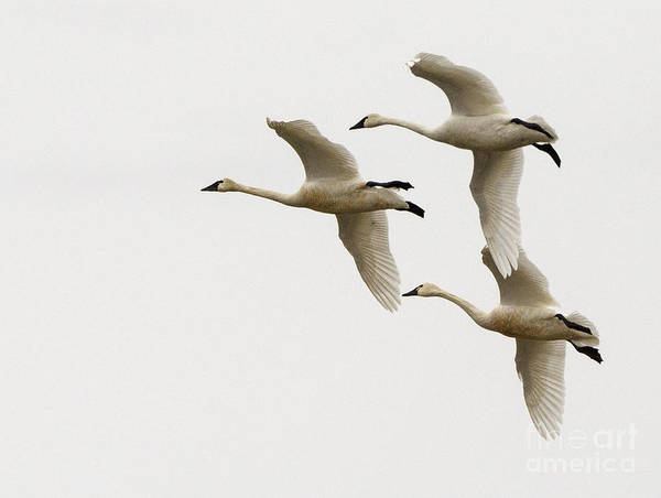 Swan Photograph - Tundra Swans In Flight 1 by Bob Christopher