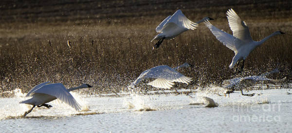 Wall Art - Photograph - Tundra Swans Take Off 2 by Bob Christopher