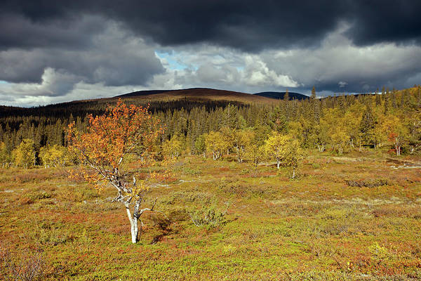 Photograph - Tundra With Birch by Aivar Mikko