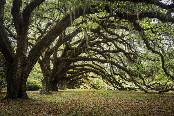 Photograph - Tunnel Of Oaks by Jon Glaser