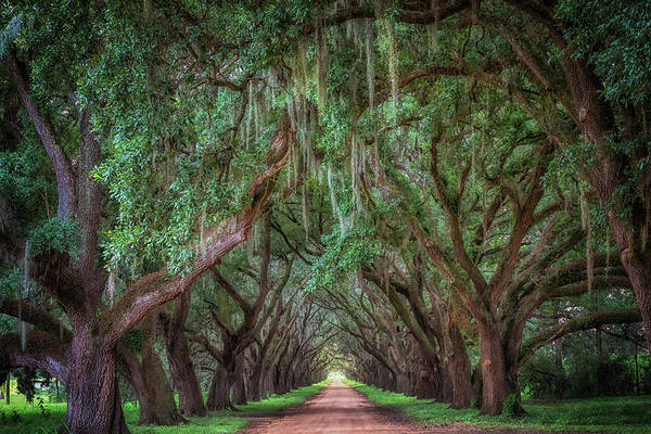 Photograph - Tunnel Of Trees by Susan Rissi Tregoning