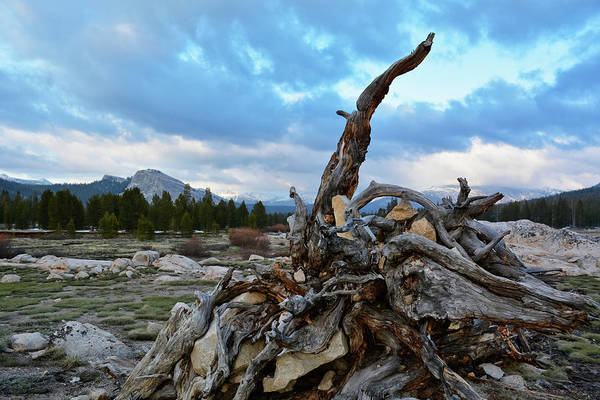 Photograph - Tuolumne Meadows Yosemite Stump by Kyle Hanson