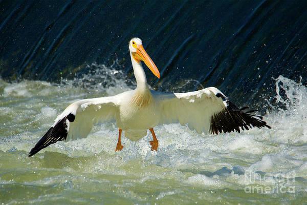 American White Pelican Wall Art - Photograph - Turbulence by Mike Dawson