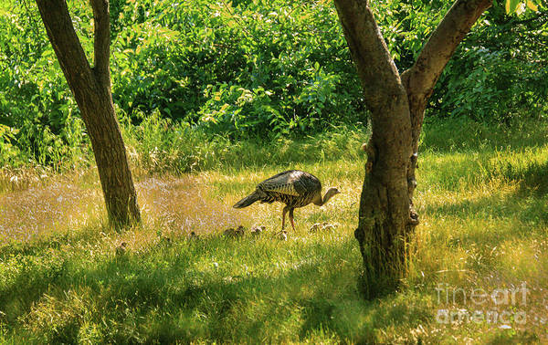 Wall Art - Photograph - Turkey Family by Robert Bales