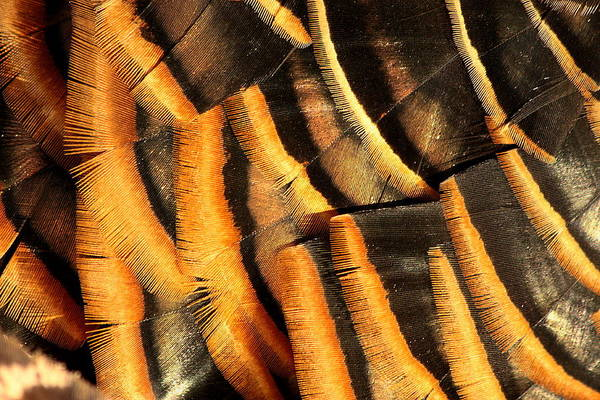 Photograph - Turkey Feathers Abstract by Sheila Brown