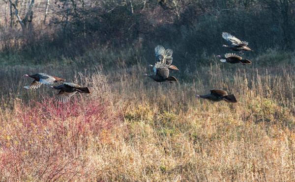 Photograph - Turkey Flight #2 by Patti Deters