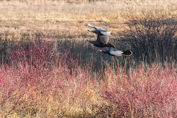 Photograph - Turkey Flight #3 by Patti Deters