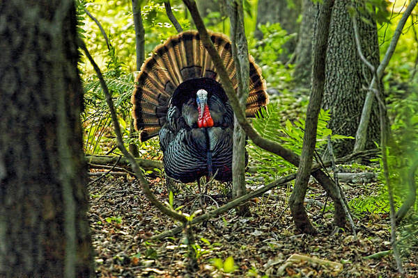 Wall Art - Photograph - Turkey In Woods With Rim Lighting From Sunset by Geraldine Scull