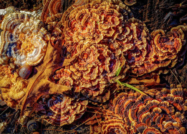 Photograph - Turkey Tail Mushrooms  by Bob Orsillo