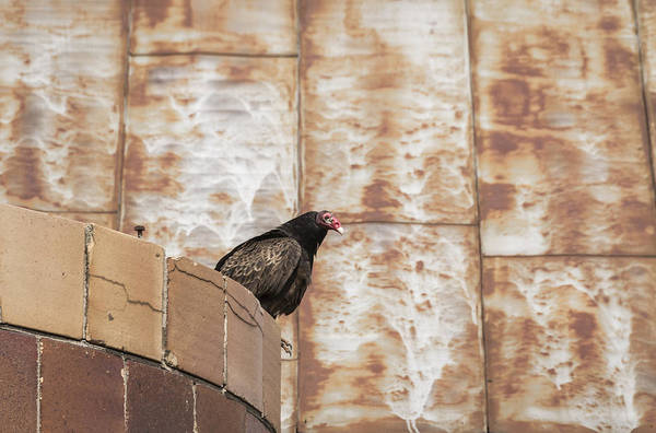 Wall Art - Photograph - Turkey Vulture 2016-1 by Thomas Young