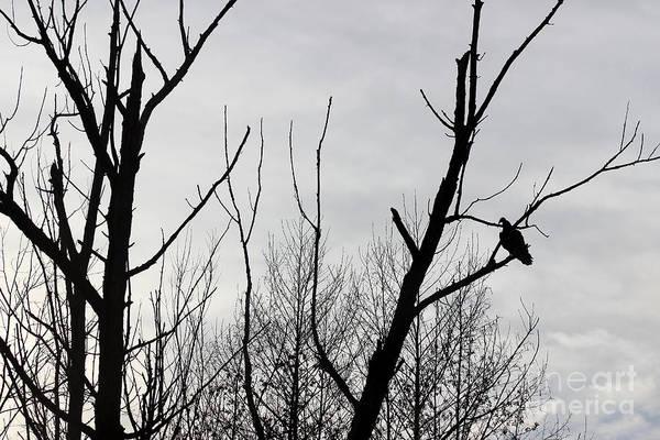 Photograph - Turkey Vulture Black And White by Karen Adams