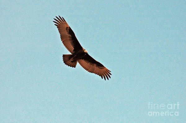 Photograph - Turkey Vulture by Cindy Murphy - NightVisions