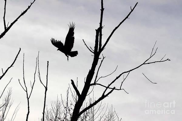 Photograph - Turkey Vulture In Flight Black And White by Karen Adams