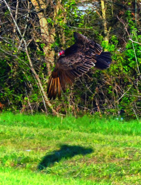 Bird In Flight Digital Art - Turkey Vulture In Flight by Chris Flees