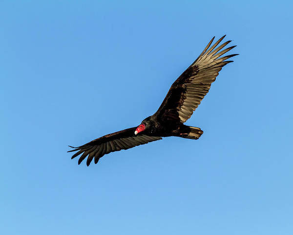 Photograph - Turkey Vulture In Flight by TL Mair