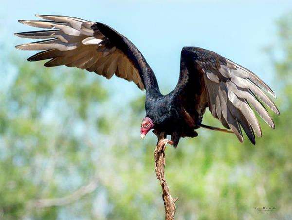 Photograph - Turkey Vulture by Judi Dressler