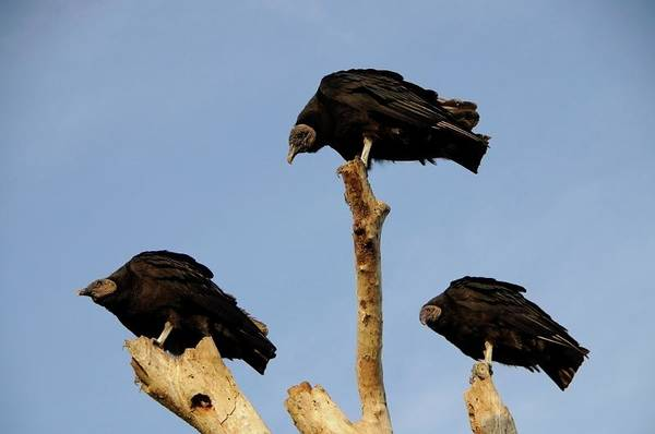 Photograph - Turkey Vulture by Michael Raiman