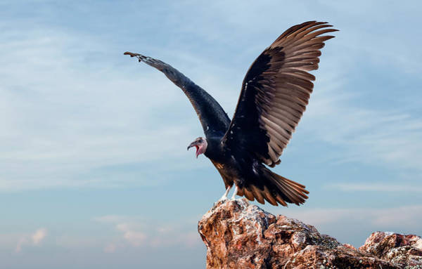 Photograph - Turkey Vulture Mouthing Off by Rick Mosher