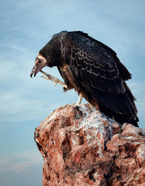 Photograph - Turkey Vulture Scratching Chin by Rick Mosher