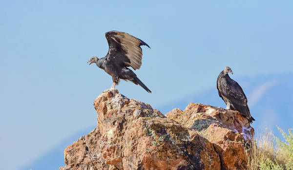 Photograph - Turkey Vultures 3 by Rick Mosher