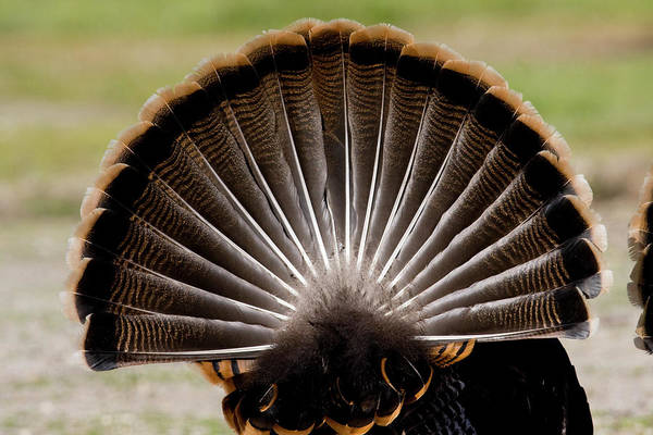 Photograph - Turkey's Feather Display by Mark Miller