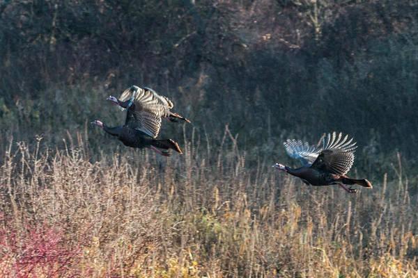 Photograph - Turkeys In Flight #1 by Patti Deters