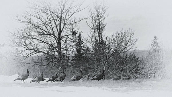Wall Art - Photograph - Turkeys On The Hill by Susan Capuano