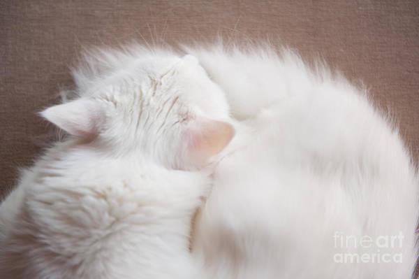 Wall Art - Photograph - Turkish Angora Cat Sleeping by Arletta Cwalina