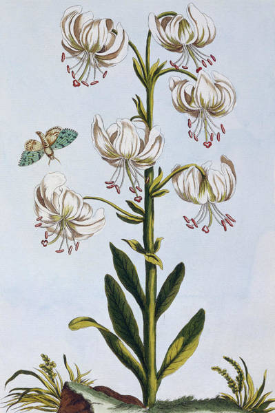 White Lily Painting - Turkscap Lily by Pierre-Joseph Buchoz