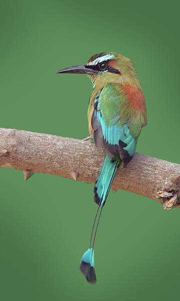 Photograph - Turquoise-browed Motmot by Larry Linton