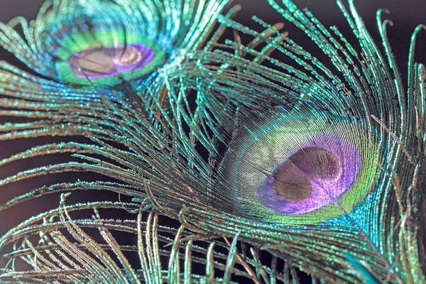 Photograph - Turquoise Feather by Angela Murdock