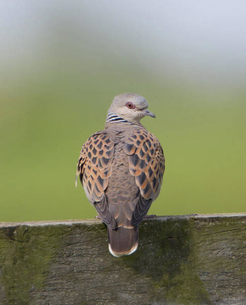 Photograph - Turtle Dove by Peter Walkden