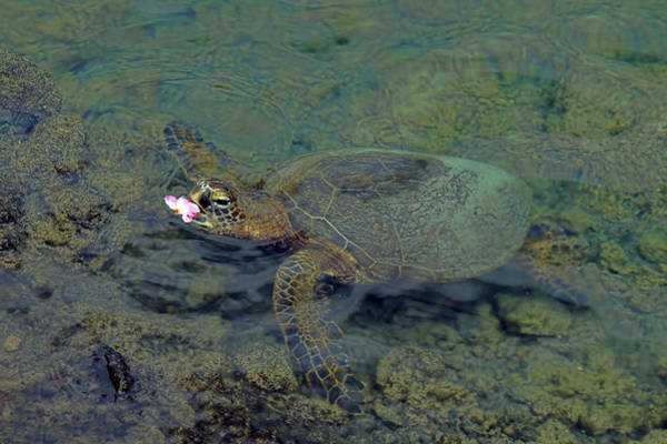 Photograph - Turtle Eating Lunch by Pamela Walton