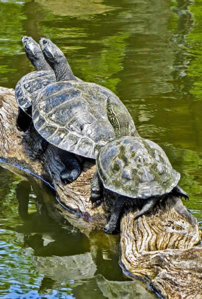 Photograph - Turtle Family by Bob Slitzan