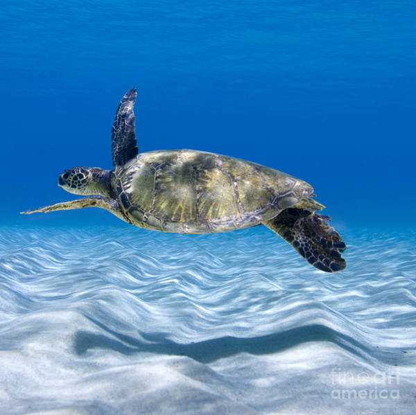 Wall Art - Photograph - Turtle Flight -  Part 2 Of 3  by Sean Davey