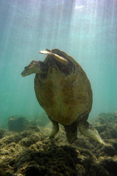 Green Sea Turtle Photograph - Turtle Handstand by Christopher Johnson