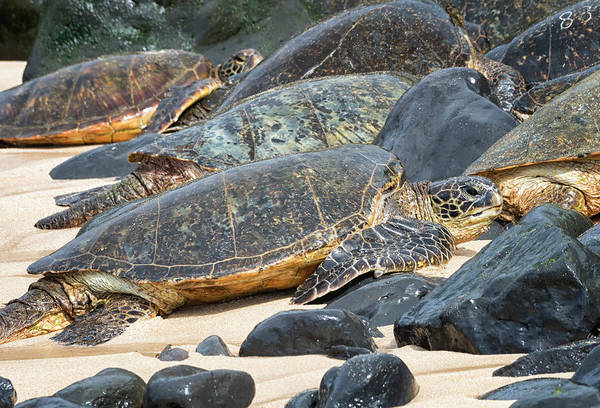 Honu Wall Art - Photograph - Turtle Hangout by Randy Hall