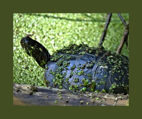 Photograph - Turtle by John Feiser