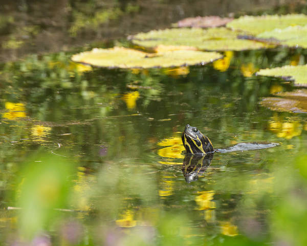Photograph - Turtle  by Julie Andel