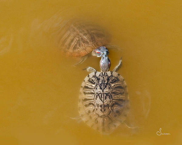 Wall Art - Photograph - Turtle Kiss by Sally Mitchell