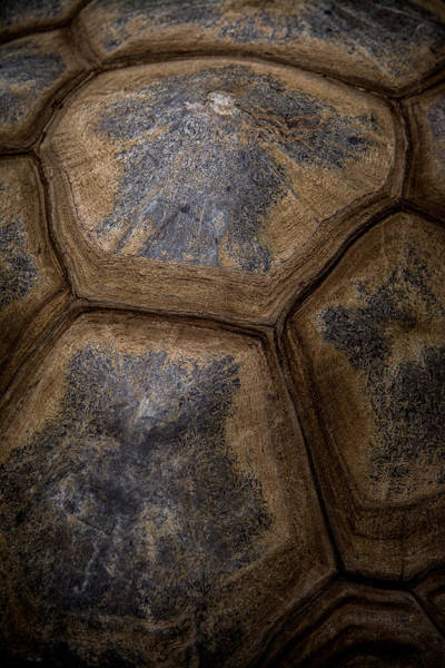 Photograph - Turtle Shell by Racheal Christian