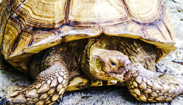 Photograph - Turtle by Stacey Rosebrock
