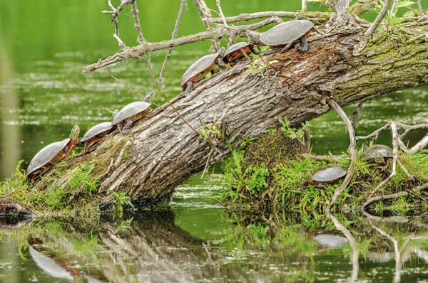 Photograph - Turtle Trunk by Steven Santamour