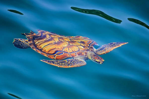 Photograph - Turtle Up by Peter Kennett