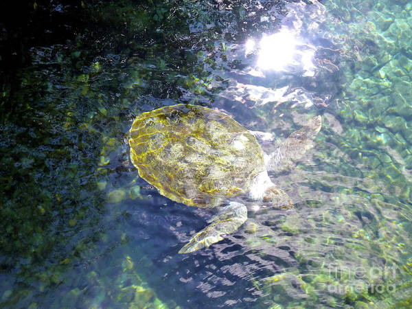 Photograph - Turtle Water Glide by Francesca Mackenney