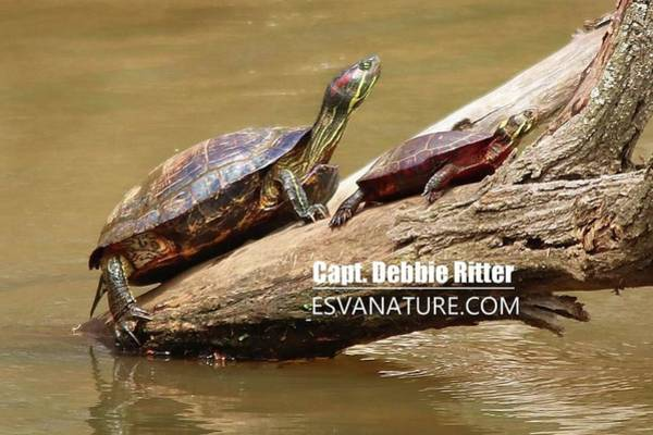 Photograph - Turtles 8245 by Captain Debbie Ritter