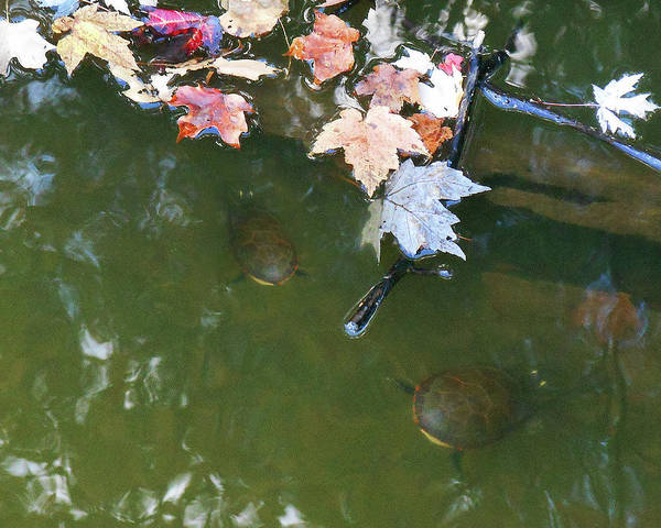 Photograph - Turtles And Leaves In The Water by Irina Sztukowski