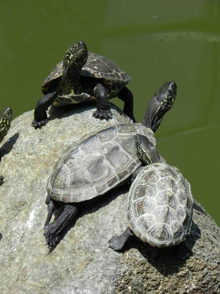 Photograph - Turtles At A Temple In Narita, Japan by Breck Bartholomew
